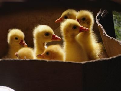 Baby Ducklings by James L. Stanfield