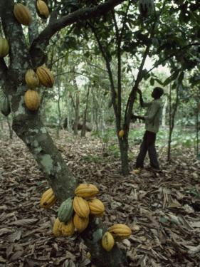 Cacao Tree Laden with Fat Yellow Seed Pods by James L. Stanfield