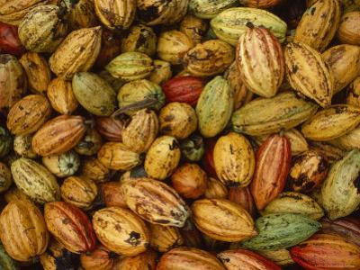 Cocoa Bean Pods of Varying Shades of Yellow, Green, and Red