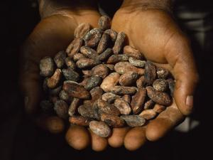 Pair of Hands Holds a Pile of Brown, Dried Cacao Beans by James L. Stanfield