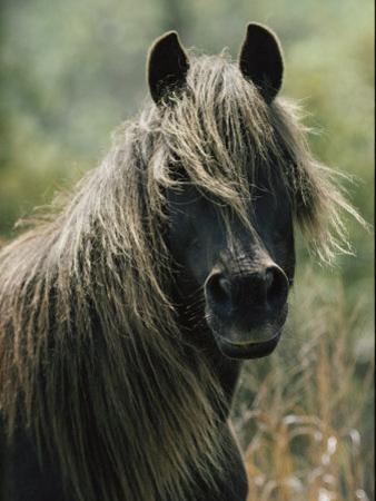 Portrait of a Chincoteague Pony by James L. Stanfield