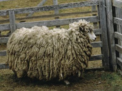 Sheep Covered in Wool, Harberton, Argentina