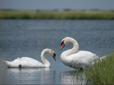 Swans in a Pond by James L. Stanfield