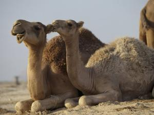 Two Dromedary Camels by James L. Stanfield