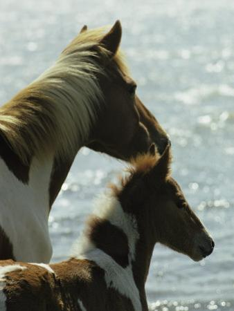 Wild Pony and Foal Looking Out at the Water by James L. Stanfield