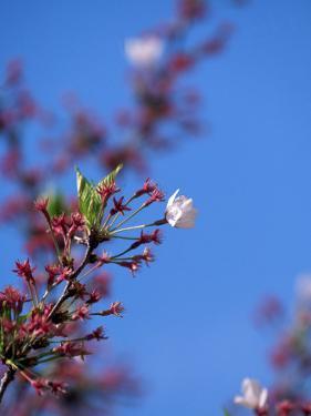 Cherry Blossoms, Washington, DC by James Lemass