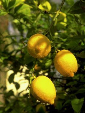 Lemon Tree, Phoenix, Arizona by James Lemass
