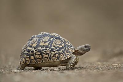 Leopard Tortoise (Geochelone Pardalis), Kruger National Park, South Africa, Africa