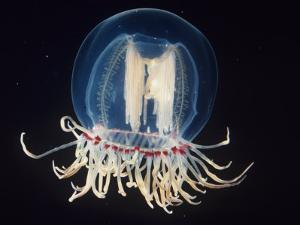 Bell Jellyfish, Polyorchis, Pacific Coast of North America by James McCullagh
