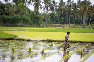 A Paddy Farmer at Work in a Rice Field, Sumba, Indonesia, Southeast Asia, Asia by James Morgan