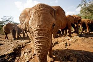 Juvenile Elephants (Loxodonta Africana) at the David Sheldrick Elephant Orphanage by James Morgan