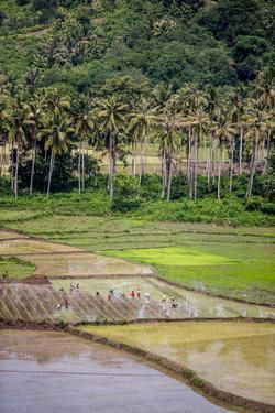 Paddy Farmers at Work in Rice Fields, Sumba, Indonesia, Southeast Asia, Asia by James Morgan