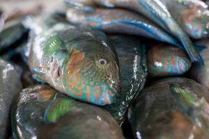 Parrotfish (Scaridae) an Important Herbivore in the Coral Reef Ecosystem by James Morgan