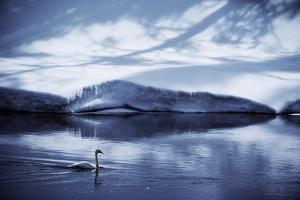 A trumpeter swan, Cygnus buccinator, glides across the calm river. by James P. Blair