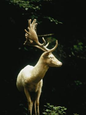 A White Fallow Stag in a Forest by James P. Blair