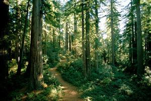 A Woodland Path Winds Through a Grove of Sequoia Trees in Long Meadow Sequoia Grove by James P. Blair