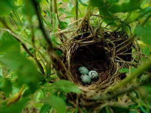 Bird Nest with Eggs by James P. Blair