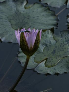 Dragonfly on a Water Lily Blossom by James P. Blair