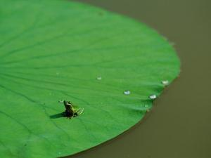 Frog on a Lily Pad by James P. Blair