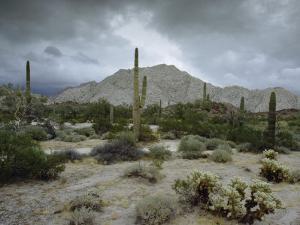 Saguaros Cacti Rise from the Sonoran Desert, Arizona-Mexico Border by James P. Blair