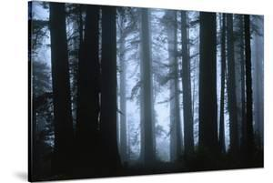 Shrouded in Mist, the Trunks of a Crowd of Giant Redwoods Soar by James P. Blair
