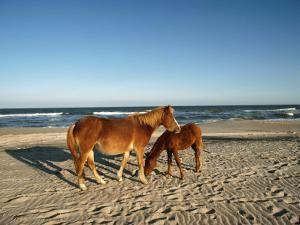 Two Chincoteague Ponies Stand Close Together on the Beach by James P. Blair