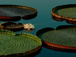Victoria Water Lilies by James P. Blair