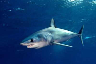 Shortfin Mako Sharks by James R.D. Scott