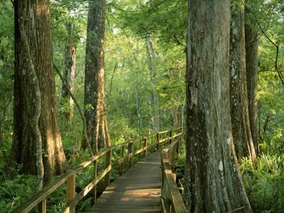 Boardwalk Through Forest of Bald Cypress Trees in Corkscrew Swamp