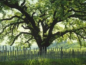 Coast Live Oak, Sonoma Coast by James Randklev