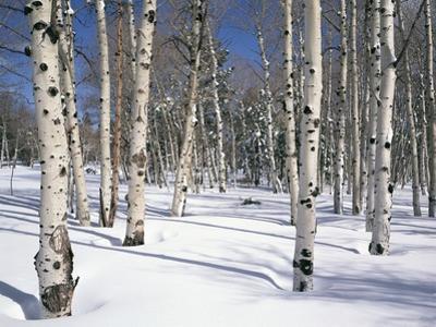 Quaking Aspens in Snow