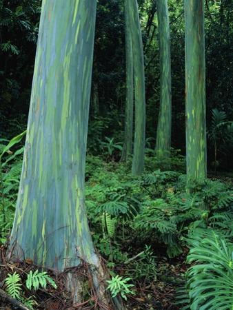 Rainbow Eucalyptus (Mindanao Gum) Trees