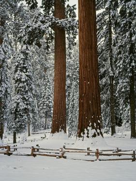 Sequoia Trees in Snow by James Randklev