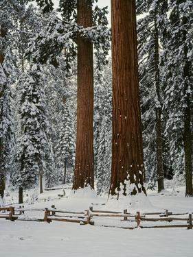 Sequoia Trees in Snow by James Randklev