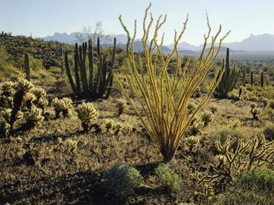 The Sonoran Desert at Sunrise