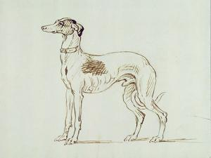 A Greyhound, Facing Left (Pen and Ink on Paper) by James Seymour