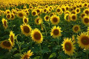 Sunflowers, Near Chalabre, Aude, France, Europe by James Strachan