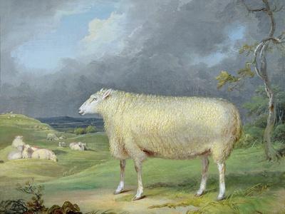 A Border Leicester Ewe