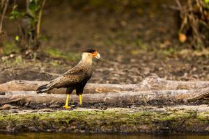 A crested caracara walks along a river bank in the Pantanal, Brazil by James White