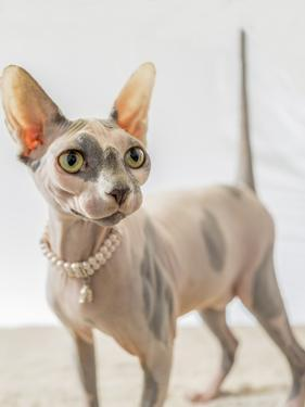 A hairless sphinx cat wearing pearls poses for a portrait by James White