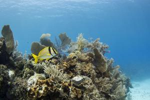 A Porkfish Swims Above a Lush Coral Head in Clear Blue Waters Off the Isle of Youth, Cuba by James White