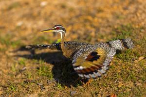 A Splendid Sunbittern spreads its wings along the bank of a river in the Pantanal, Brazil by James White