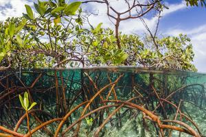 Above Water and Below Water View of Mangrove with Juvenile Snapper and Jack by James White