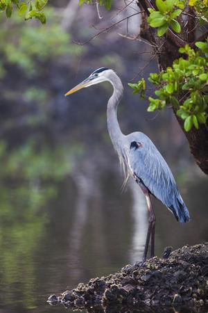 Blue Heron Stalks Fish Taken at Robinson Preserve in Bradenton, Florida by James White