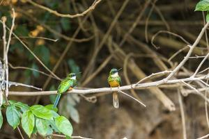Breeding pair of green-tailed jacamars rest together along a river in the Pantanal, Brazil by James White