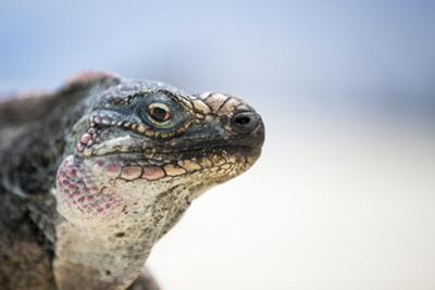 Close-Up of an Iguana on the Beach Near Staniel Cay, Exuma, Bahamas by James White