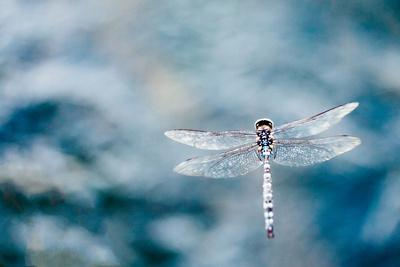 Dragonfly Hovering over Blue Water