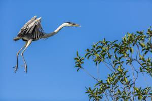 Great Blue Heron prepares to land on a tree over the Brazilian Pantanal by James White