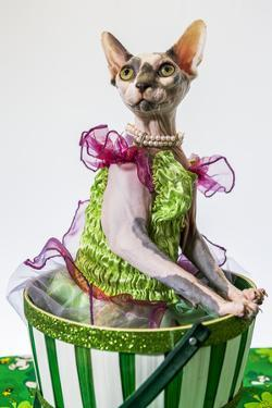 Hairless sphinx cat wearing pearls poses for a portrait by James White