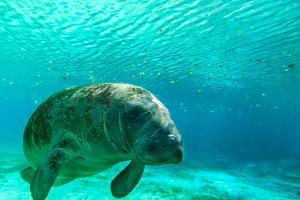 Manatee Swimming in Clear Water in Crystal River, Florida by James White
